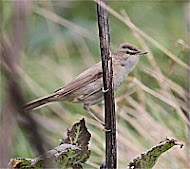 Paddyfield Warbler