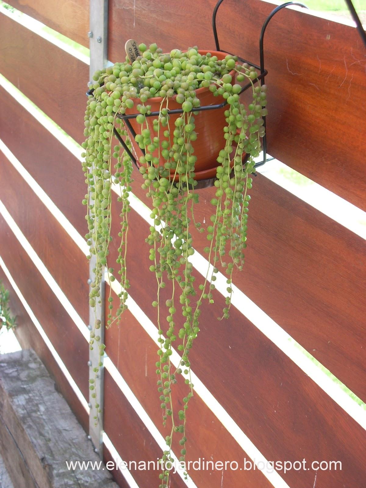 El enanito jardinero senecio rowleyanus - Plantas de interior colgantes ...
