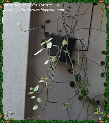 Planta ornamental, forração ou vinca maior