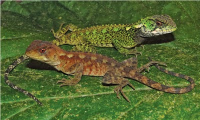 http://sciencythoughts.blogspot.co.uk/2013/06/two-new-species-of-woodlizard-from.html