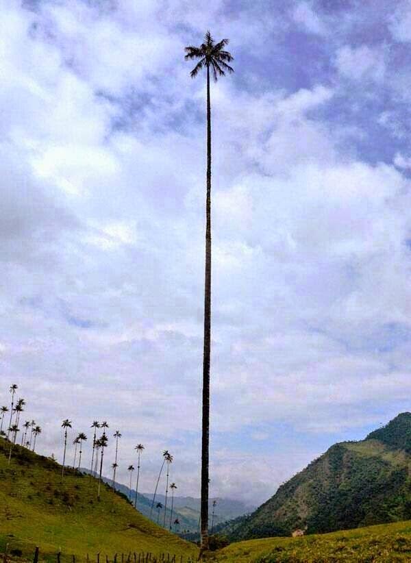 Descubre TU MUNDO: Un vistazo a la excepcionalmente alta «Palma de ...