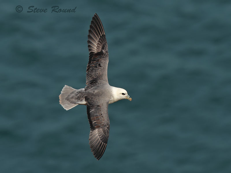 fulmar, seabird, nature, bird, wildlife, in flight, flying