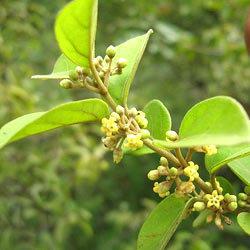 نبات الجيمنيما للتخسيس