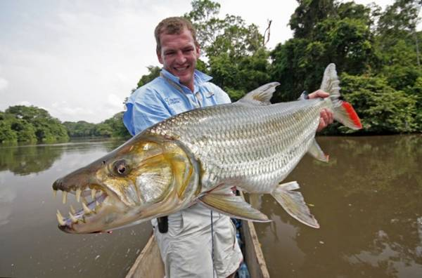 Goliath Tiger Fish — Water Monster from Africa