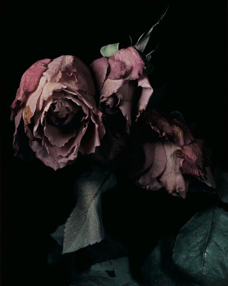 David Sims Roses
