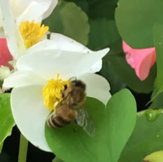 Who knew! Bees like Tuberous Begonias