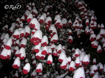 Rönnbär i träd, med snötoppar på rönnbärsklasarna. foto: Reb Dutius