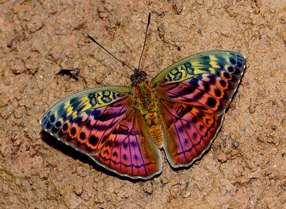 Newly Discovered Butterfly Species lives up to its Name Butterfly Species Names