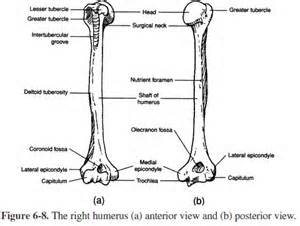 Medical Transcription: Humerus diagram