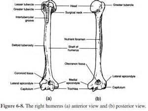 medical transcription humerus diagram : humerus diagram - findchart.co