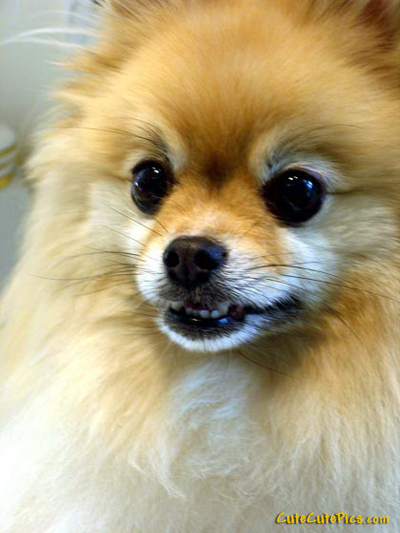 Very Cute Pomeranian Puppies high resolution widescreen