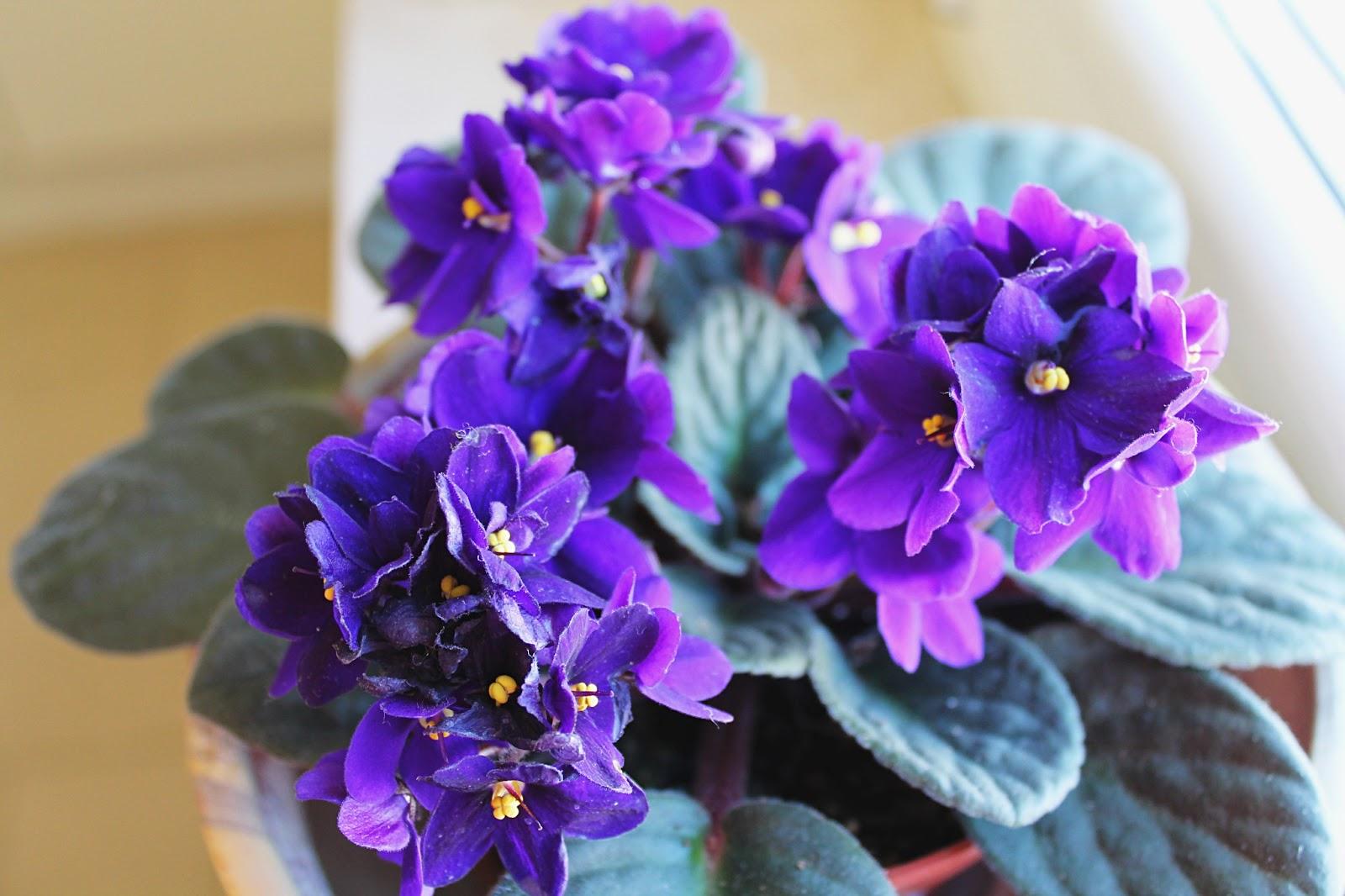 Sweet sour triglie con cipolla di tropea caramellata for Violetta africana