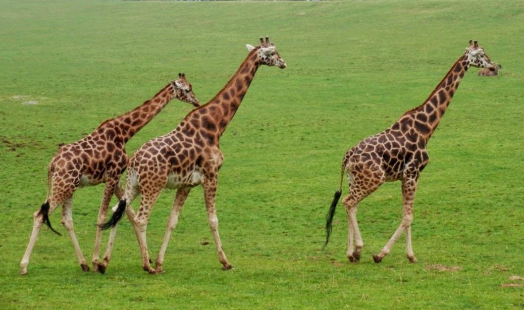 Familia-de-jirafas-en-el-Parque-de-Cabárceno