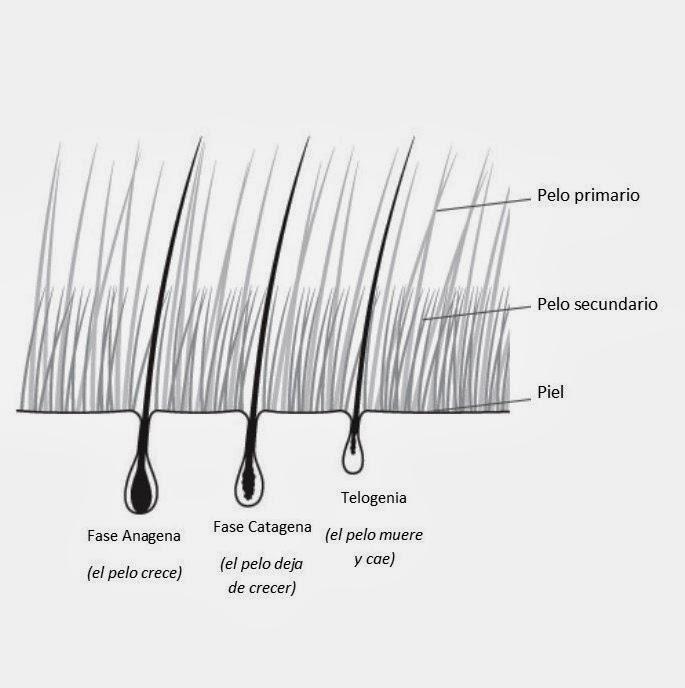 Fases de crecimiento dle pelo