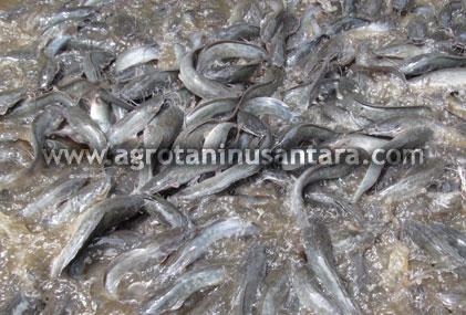 Cara Teknis Budidaya Ikan Lele dengan produk Organik NASA (Viterna dan POC NASA) | Agro Nusantara | www.agrotaninusantara.com