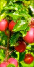 Älskar äpplen