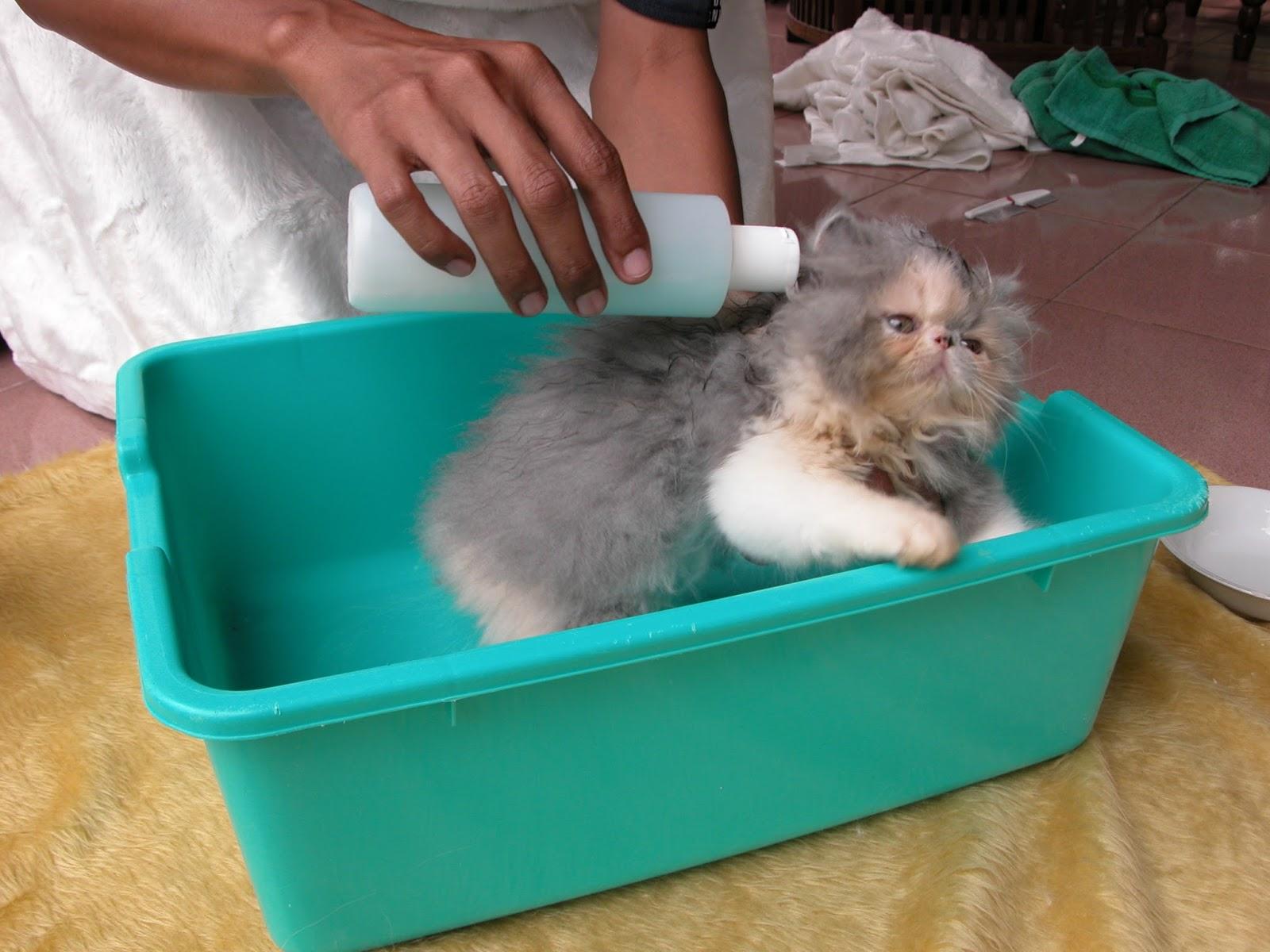 Cara Memandikan Kucing Persia Dengan Benar