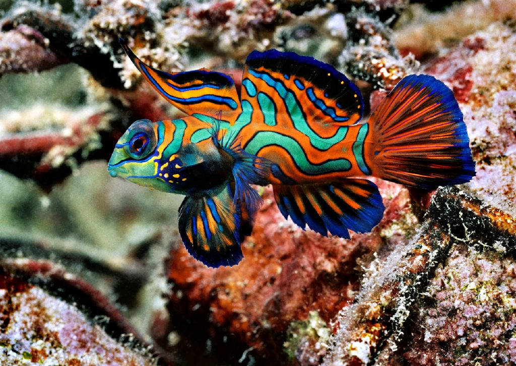 Mandarinfish Wild Life Animal
