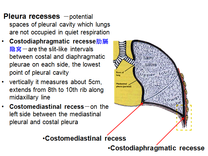 MBBS Medicine (Humanity First): Anatomy of Larynx