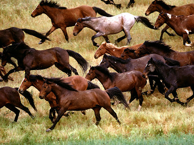 Brown Horses Running Wallpaper