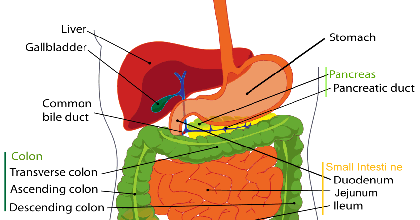 Standard Note  Human Alimentary Canal