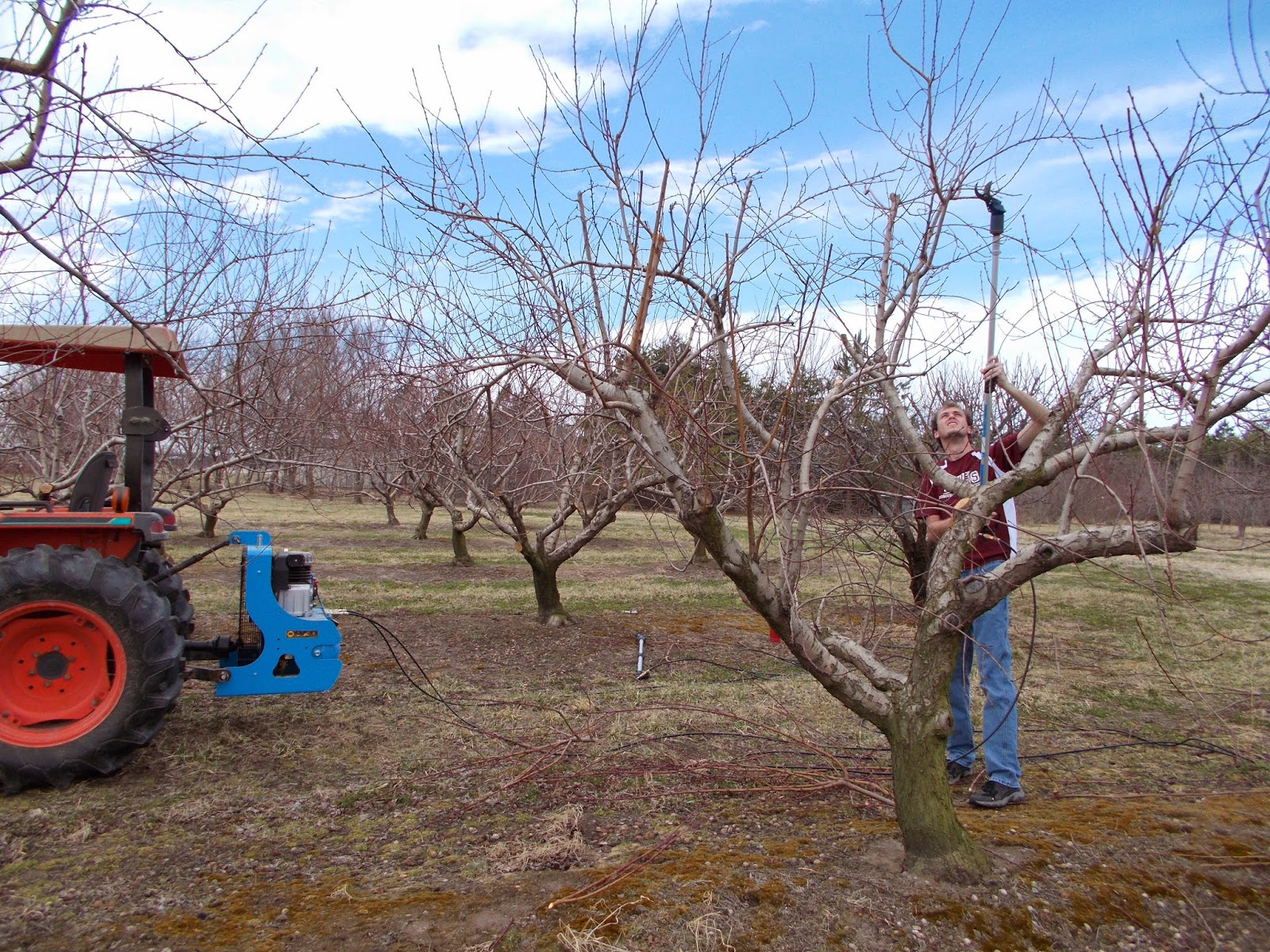 Brenda 39 s berries orchards pruning peach trees - Spring trimming orchard trees healthy ...