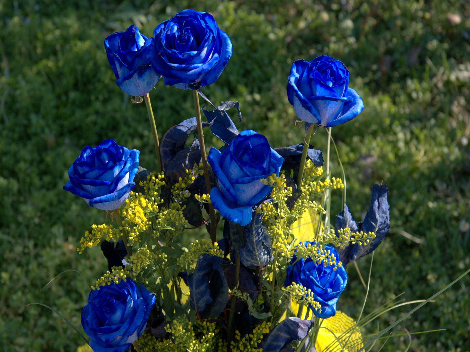 Chaska pictures blue flowers blue roses clips blue roses review blue roses images blue roses online roses blue roses meaning pictures of blue roses blue roses plants izmirmasajfo