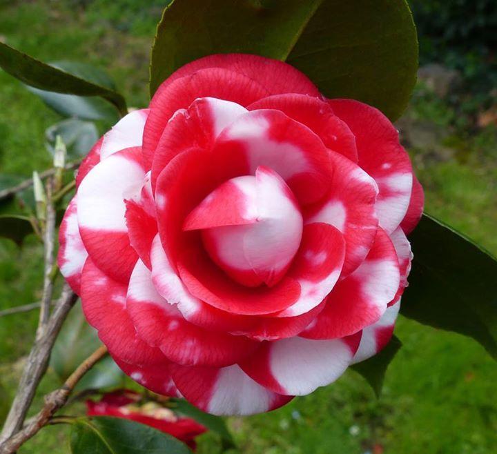 Bunga Camellia Japonica General Coletti