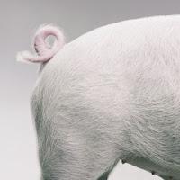 en vrac pour aujourd'hui! 1+quee+de+cochon
