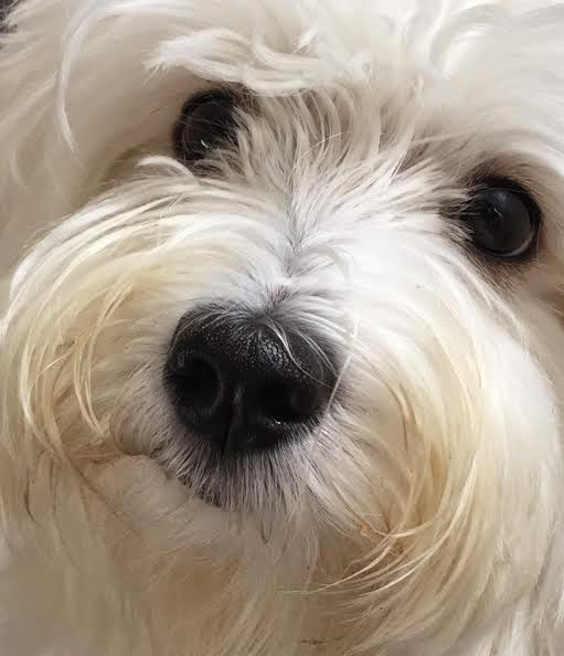 Wet Nose Wednesday on a Happy Havanese Blog