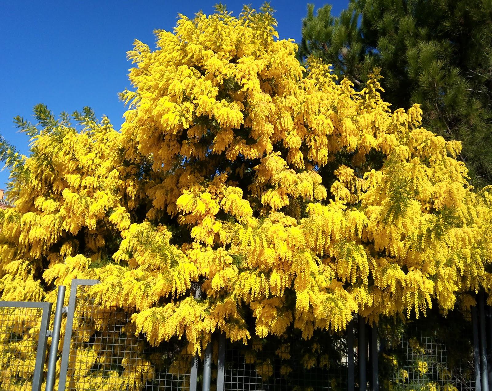 Rboles con alma mimosa plateada acacia dealbata for Arboles de hoja caduca y perenne nombres