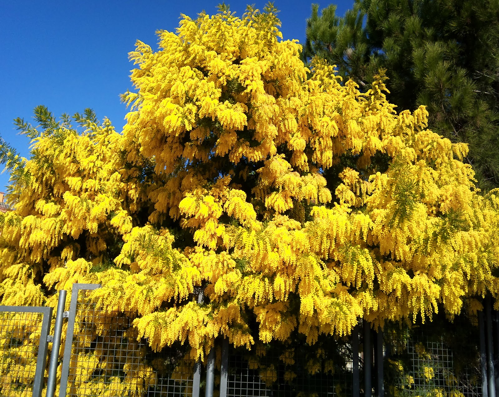 Rboles con alma mimosa plateada acacia dealbata for Arboles para veredas hojas perennes