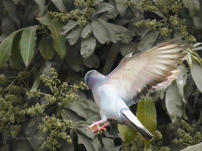 A pigeon in flight