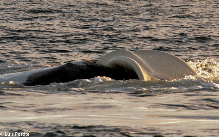 Whale birth, a photographic history document in  Puerto Piramides