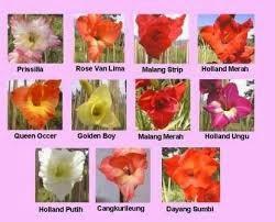 variety of gladiolus flower