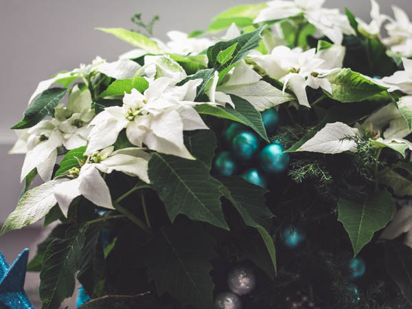 valkea joulutähti