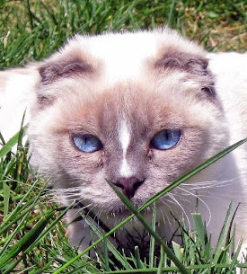 A Scottish Fold kitty......with Siamese eyes