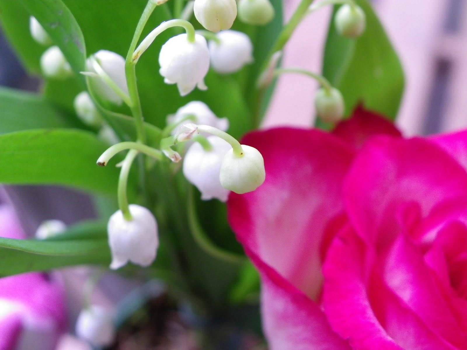 Evariste zephyrin photographer le muguet et la rose - Image muguet porte bonheur ...