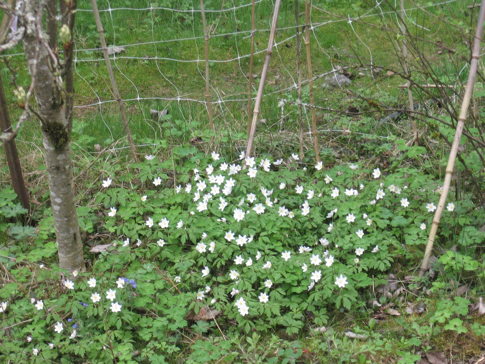 Weeding On The Wild Side Deciduous And Ephemeral Ground Covers