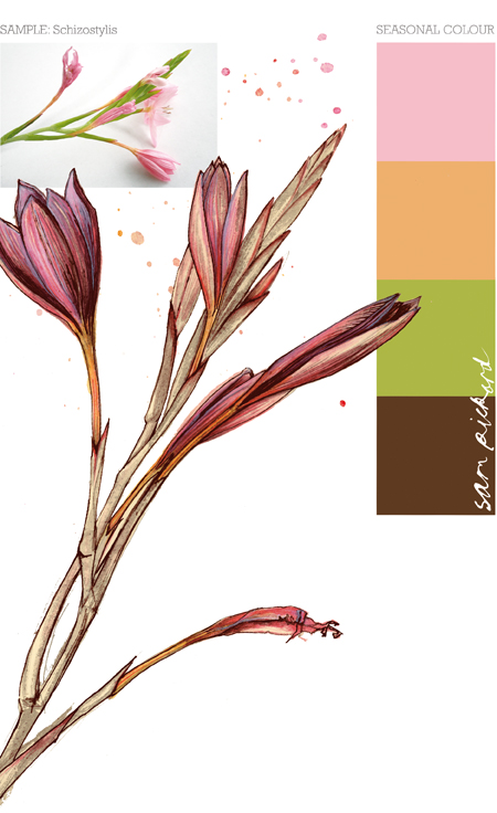 Planet Sam: Colour from the Season - Schizostylis pink