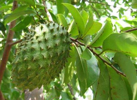 Daun Sirsak - Obat Herbal Meningitis Alami dan Tradisional