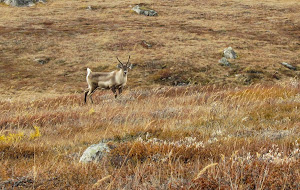 Even a caribou posed for us!