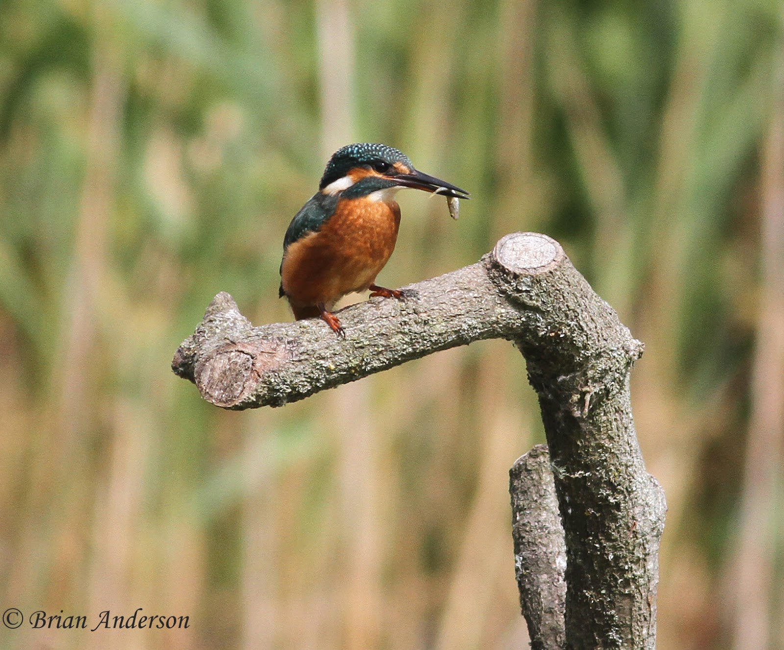 kingfisher kingfisher after a nice morning at this suffolk reserve