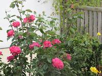 Roses in my garden 2015