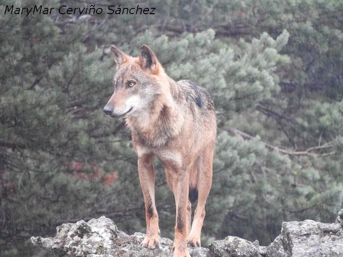 Viajar con MaryMar: Centro del Lobo Ibérico de Castilla y León