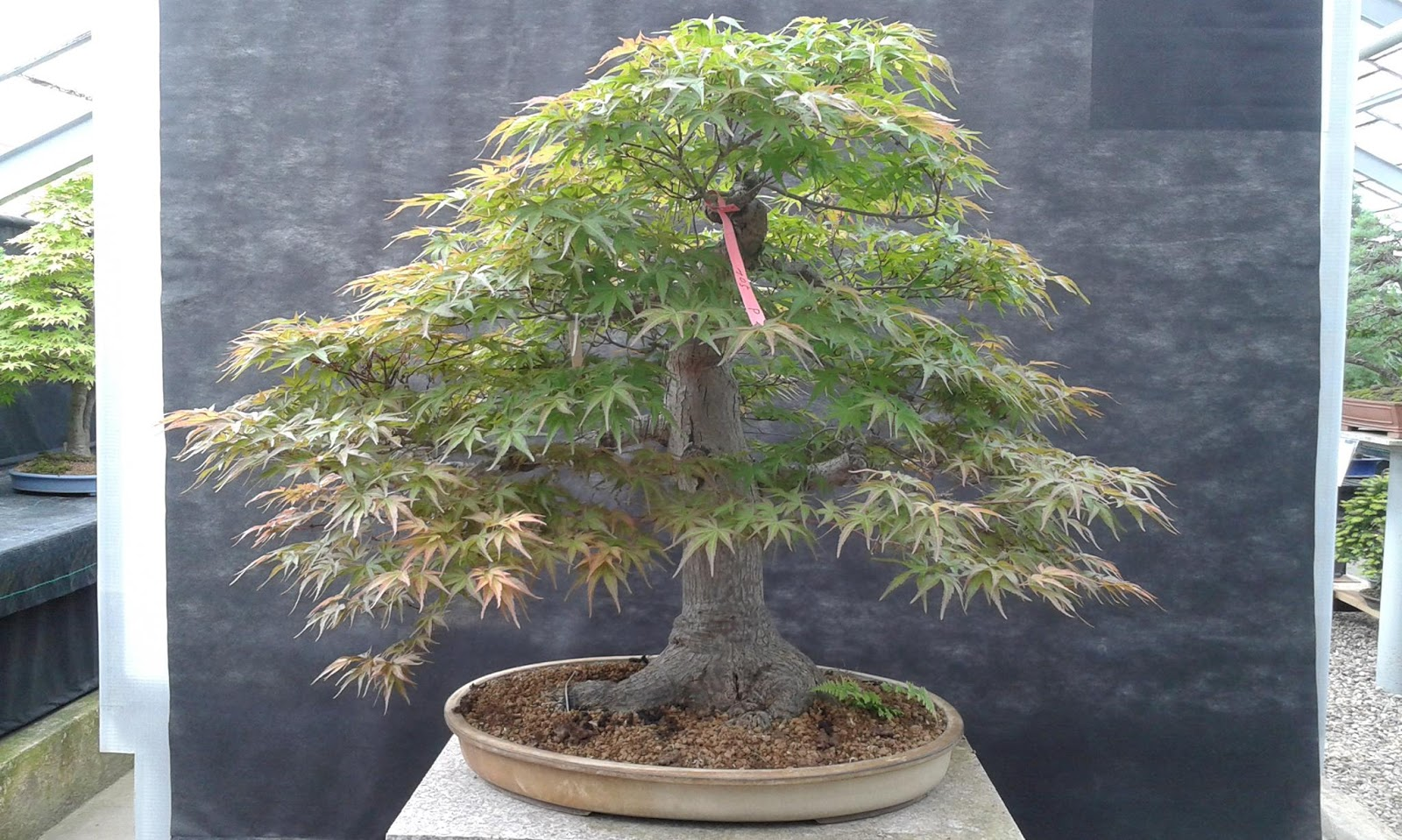 Walter Pall Bonsai Adventures Japanese Maple 20 Seigen