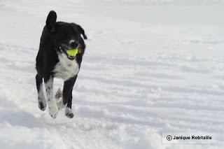chien labrador dans la neige