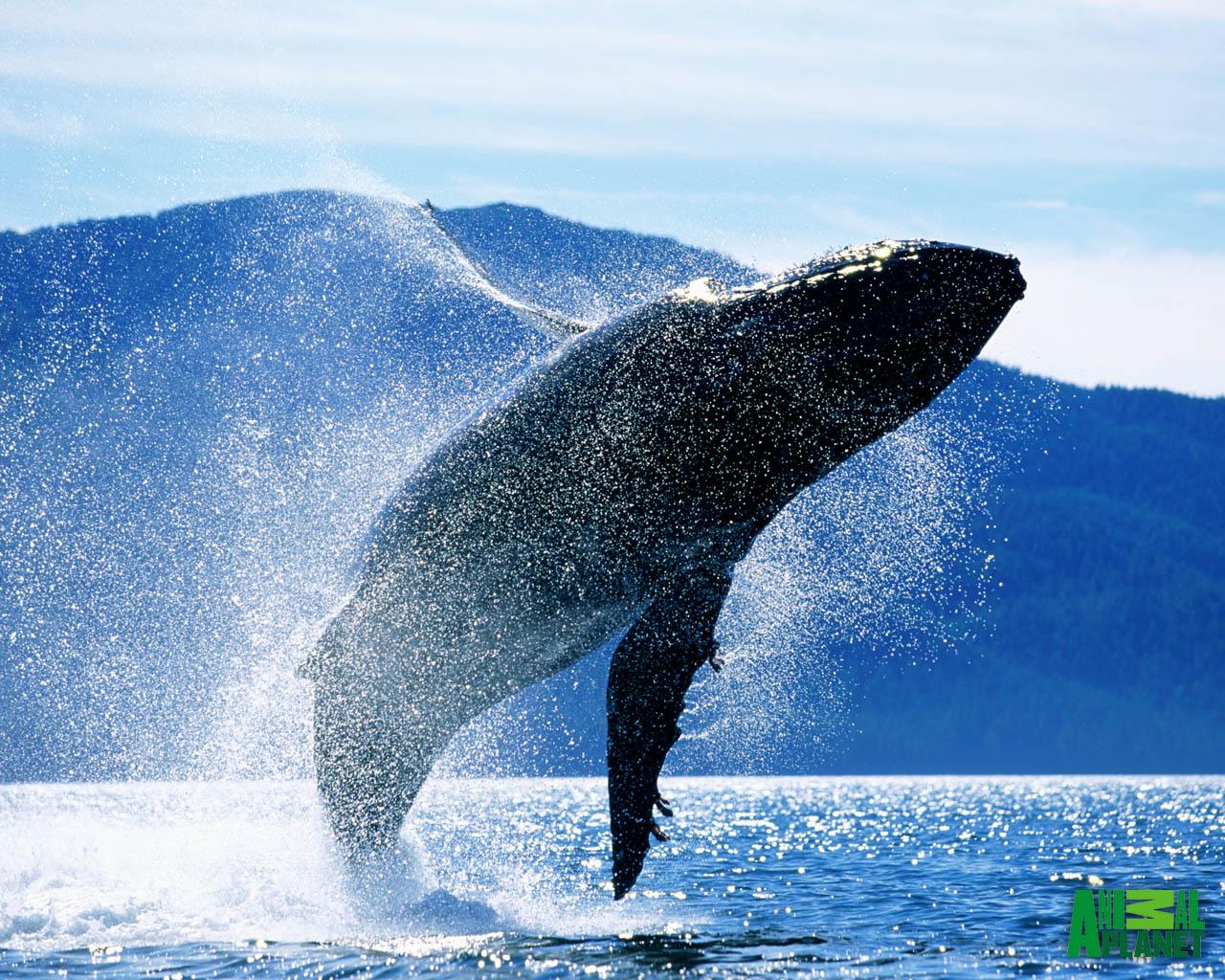 http://1.bp.blogspot.com/-KYv_u2YlR9k/UBdsowR2b-I/AAAAAAAAA4U/pgIwhYVH8x8/s1600/Whales+Wallpaper.jpg