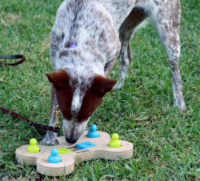 stumpy heeler solving dog puzzle