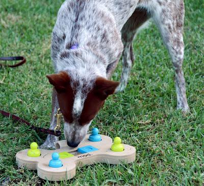 stumpy heeler solving dog puzzle